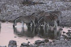 Zebras at waterhole  Etosha  Namibia Stock Images