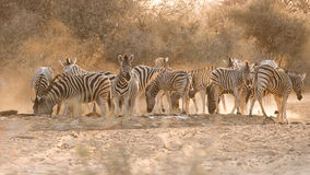 Zebras at waterhole. Group of adult and young Plains Zebra (Equus quagga) at water hole, Namibia Royalty Free Stock Photography