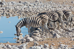 Zebras at waterhole Stock Images