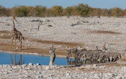 Zebras at waterhole Royalty Free Stock Image