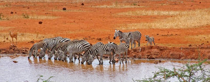 Zebras at the Watering Hole royalty free stock image