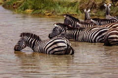 Zebras at the watering. Photo taken during the safari in Serengetti National park. Tanzania Royalty Free Stock Photo