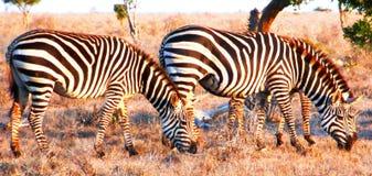 Zebras weidt Royalty-vrije Stock Fotografie