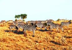 Zebras weidt Royalty-vrije Stock Foto