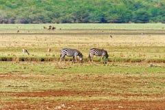 Zebras, welche die Wiese von Tansania durchstreifen Stockfotografie