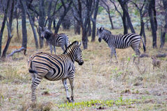 Zebras in the wild Stock Images