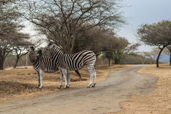 Zebras - wild Lizenzfreies Stockbild