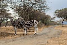 Zebras - wild Stockfoto