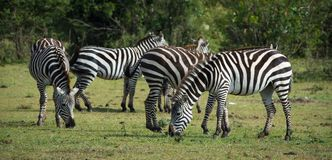 Zebras in the Wild. African Safari in Maasai Mara, Nairobi, Kenya Stock Photo