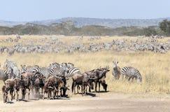 Zebras and wildbeast Stock Photos