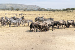 Zebras and wildbeast Stock Image