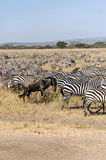 Zebras and wildbeast in vertical Stock Photography