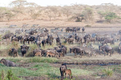 Zebras and Wildbeests in Serengeti in Tanzania Royalty Free Stock Image