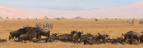 Zebras and wildebeest Stock Photo