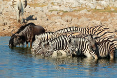 Zebras and wildebeest drinking water Royalty Free Stock Images