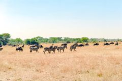 Zebras and Wildebeest - Gnus in Savanna of Serengeti, Tanzania, Africa royalty free stock image