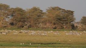 Zebras and wildebeest grazing stock footage