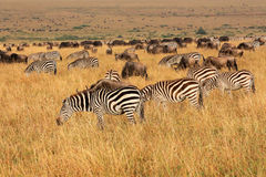 Zebras and wildebeest grazing Stock Photography