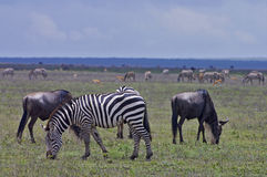 Zebras and Wildebeest grazing on Serengeti plains Stock Photography