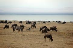 Zebras and Wildebeest next to the lagoon Stock Image