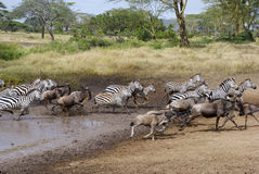 Zebras and wildebeest running. From pool Royalty Free Stock Photography