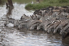 Zebras and Wildebeest at the Serengeti Royalty Free Stock Images