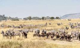 Zebras and wildebeest Royalty Free Stock Image