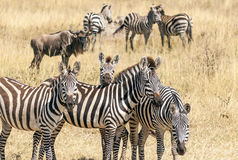 Zebras and wildebeest Stock Image