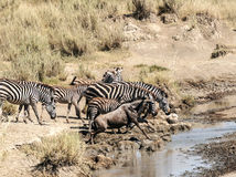 Zebras and wildebeest Royalty Free Stock Images