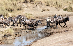 Zebras and wildebeest Stock Images
