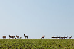 Zebras and wildebeest walking in the hills Stock Photography