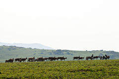 Zebras and wildebeest walking in the hills Stock Photos