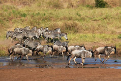 Zebras and Wildebeests Running royalty free stock photo