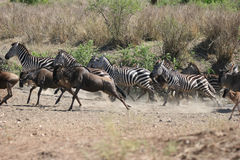 Zebras and Wildebeests running Stock Images