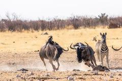Zebras wildebeests running Stock Photography