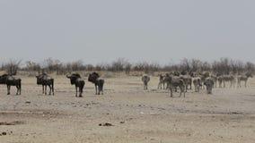 Zebras and wilderbeest in african bush stock video footage