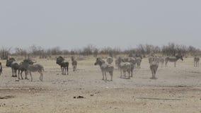Zebras and wilderbeest in african bush stock footage