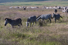 Zebras In The Wilderness Stock Photos