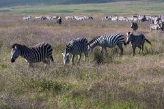 Zebras In The Wilderness Stock Photos