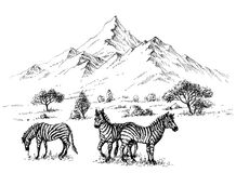 Zebras in wilderness Royalty Free Stock Photo