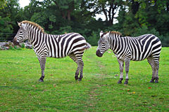Zebras in the wildlife park Royalty Free Stock Photography