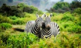 Zebras on Zebra Royalty Free Stock Image