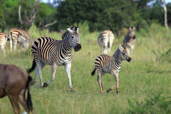 Zebras. Zebra baby in the  Moremi Game reserve in Botsuana Stock Photo