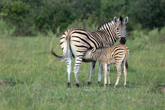 Zebras. Zebra baby in the  Moremi Game reserve in Botsuana Stock Image