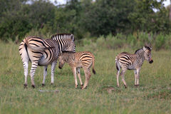 Zebras. Zebra baby in the  Moremi Game reserve in Botsuana Stock Photography