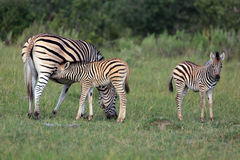 Zebras. Zebra baby in the  Moremi Game reserve in Botsuana Royalty Free Stock Photo