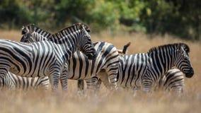 The Zebras Royalty Free Stock Photo