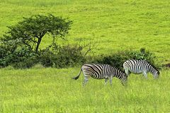 Zebras. In Tala Game Reserve, South Africa