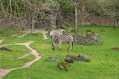 Zebras in zoo. Details of Zebras grazing in zoo royalty free stock photography