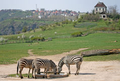 Zebras in a Zoo. Adult zebras in a Zoo Stock Photo
